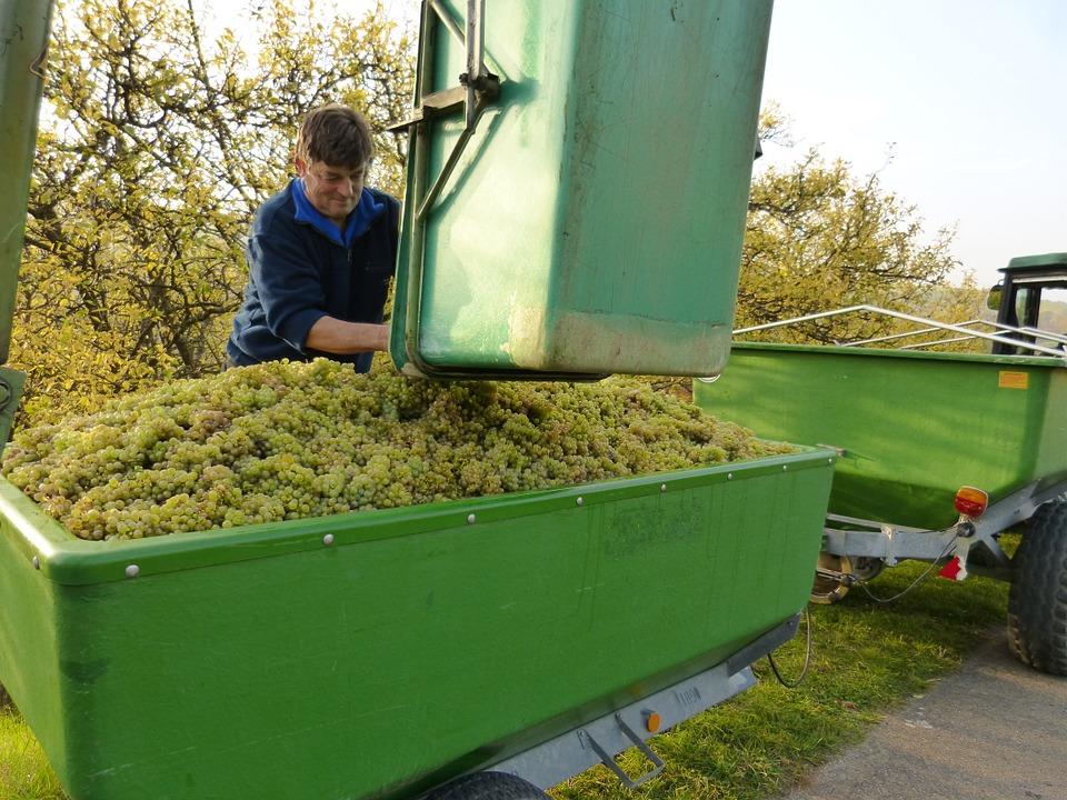 travail de la vigne à la vinification